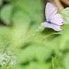 Silver Forget-me-not (Cathchrysps panormus)