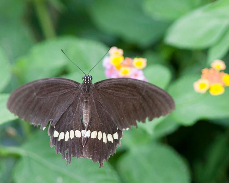 Common Mormon (Papilo polytes) male