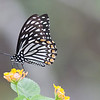 Common Mine (Ariadne ariadne)