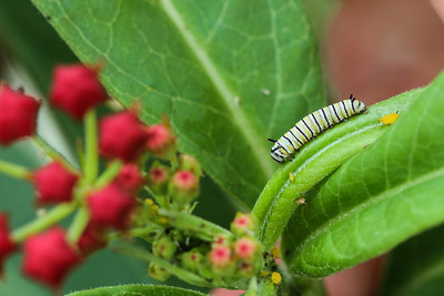 Monarch Butterfly Caterpillar on Tropical Milkweed