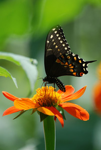 A black swallowtail butterfly enjoying a meal.