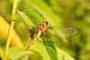 Wandering Glider Dragonfly, Cherokee Marsh, Madison, Wisconsin