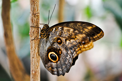 Owl Butterfly (Caligo eurilochus) Native to Central / South America