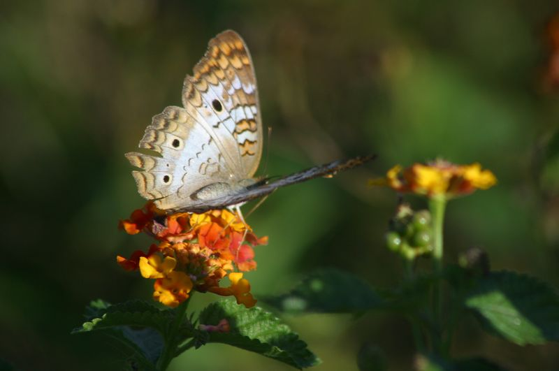 A large butterfly in the marsh area just outside Deltona, Fl.