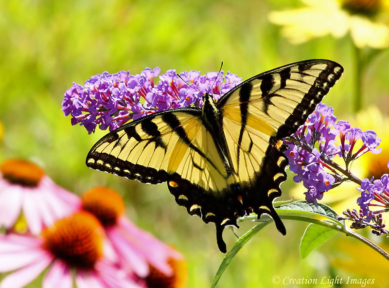 Eastern Tiger Swallowtail Feeding On Buddleia