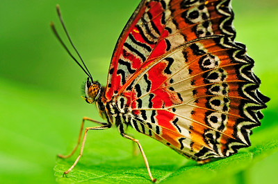 The Lacewing (Cethosia biblis) Native to Asia
