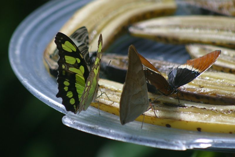 This is one of my favorite pictures from Butterfly World.  I love how the feeding saucer helps frame the picture.