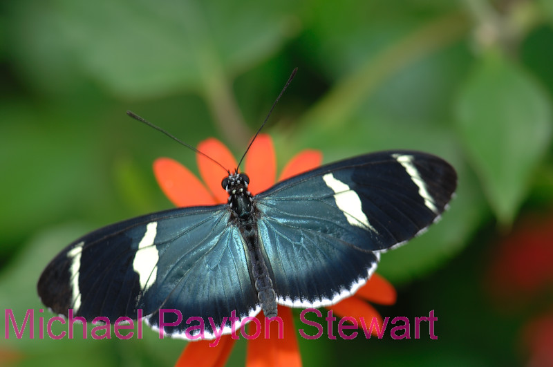 D9. Heliconius Erato Cyrbia 2. No post-processing done to photo. Nikon NEF (RAW) files available. NPP Straight photography noPhotoShopping.com
