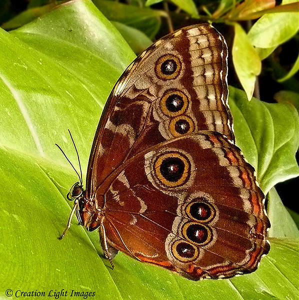 Blue Morpho - ventral side
