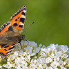 Butterflies : There were lots of butterfles in the back garden this afternoon - unfortunately the EF-S 18-200mm was the best lens I had available. Something faster, longer and with more precise focus would have been welcome.