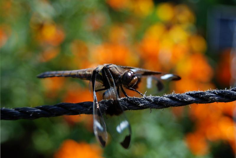 Twelve-spotted skimmer, Libellula pulchella, on rope.  Brooklyn, NY