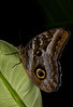 Tawny Owl Butterfly-bottom