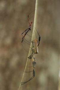 male and female bannana spiders (golden silk spiders) on web.  Silver River State Park, FL