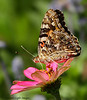 Painted Lady Feeding On Zinnia