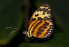 Common Tiger Glassywing