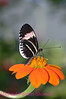 D5. Heliconius Erato Notabilis 4. No post-processing done to photo. Nikon NEF (RAW) files available. NPP Straight photography at noPhotoShopping.com
