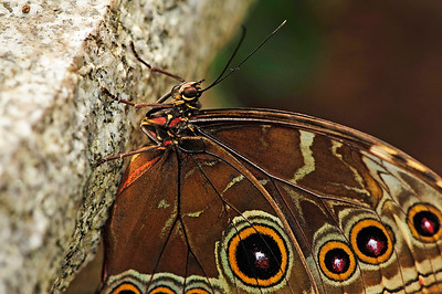 Blue Morpho (Morpho peleides) Native to Central / South America