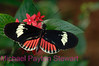 D7. Heliconius Erato Notabilis 3. No post-processing done to photo. Nikon NEF (RAW) files available. NPP Straight photography at noPhotoShopping.com