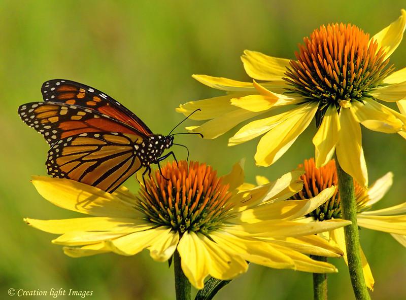 Monarch Feeding On Echinacea