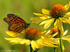 Monarch Feeding On Echinacea