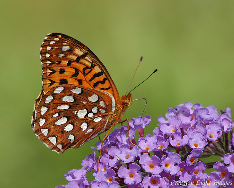 Aphrodite Fritillary Feeding On Buddleia