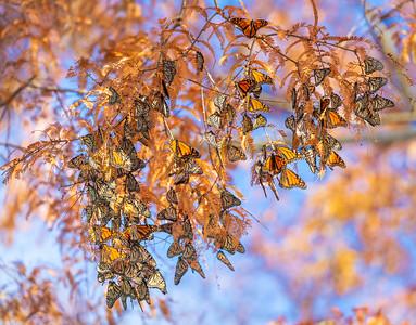 Monarch Butterfly Kaleidoscope in Dawn Redwood tree