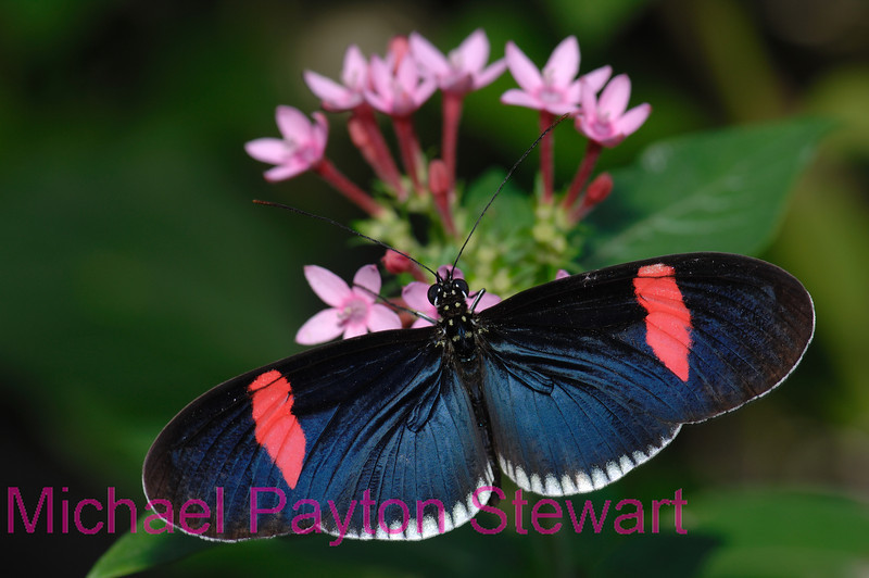 D1. Heliconius Erato Cyrbia. No post-processing done to photo. Nikon NEF (RAW) files available. NPP Straight Photography at noPhotoShopping.com
