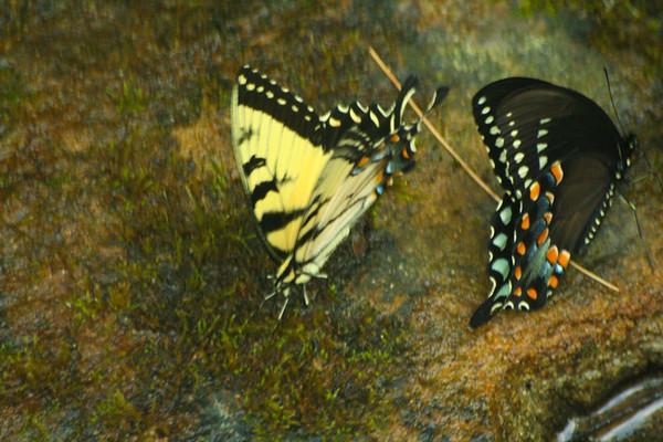 Butterflies in the creek.