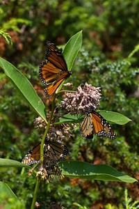 Monarch butterfly - Danaus plexippus.