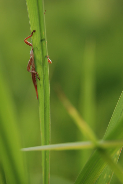 grasshopper on blade of grass.  Ocala, FL