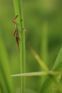 grasshopper on blade of grass.  Ocala, FL