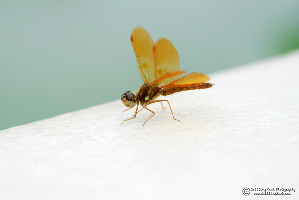 Eastern amberwing, Perithemis tenera. Central Park, NYC
