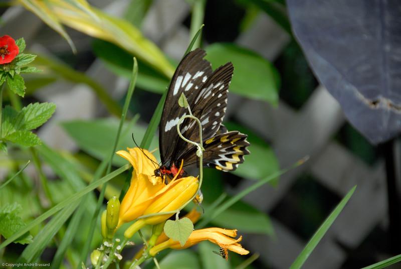 Butterflies at the Beauport's Park