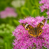 Common Buckeye Butterfly - on sedum