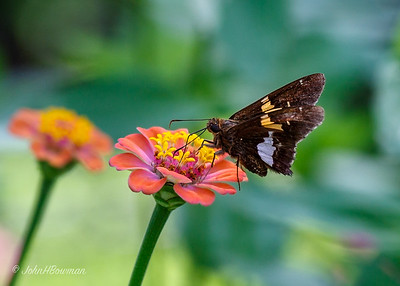 Silverspotted Skipper - on zinnia