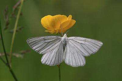 Liblikad - Butterflies and Moths