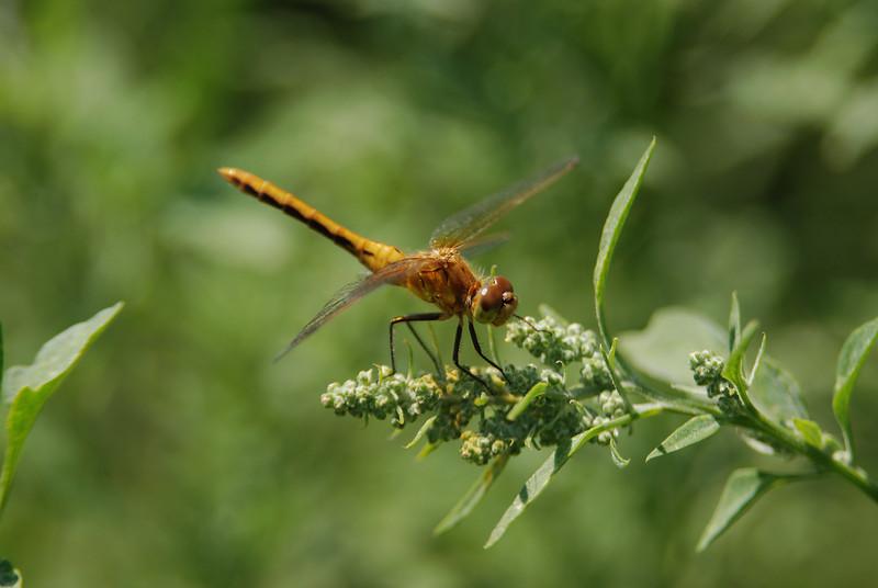 dragonfly. Melitta, Manitoba