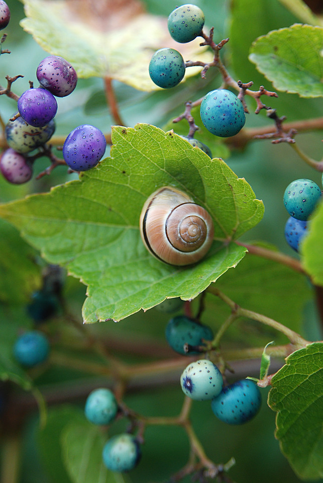 An English garden snail rests on a porcelainberry vine in October.  Both species are invasive in NY.