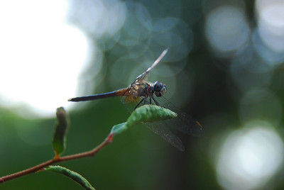 dragonfly.  Silver River State Park, FL