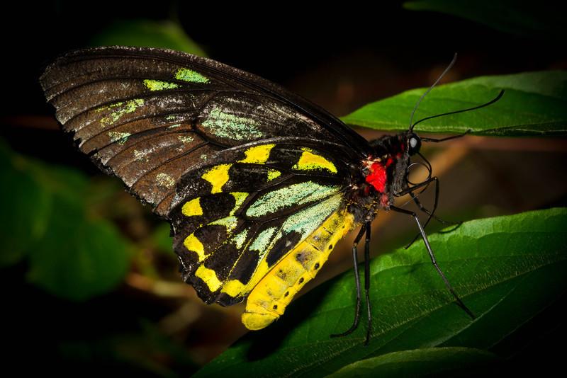Green Wing Butterfly