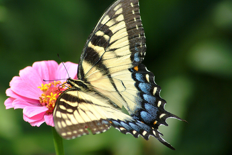 Zebratail Butterfly
