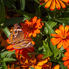Common Buckeye Butterfly - on zinnias