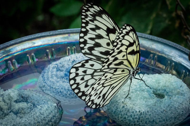 Butterfly111_K33P1205