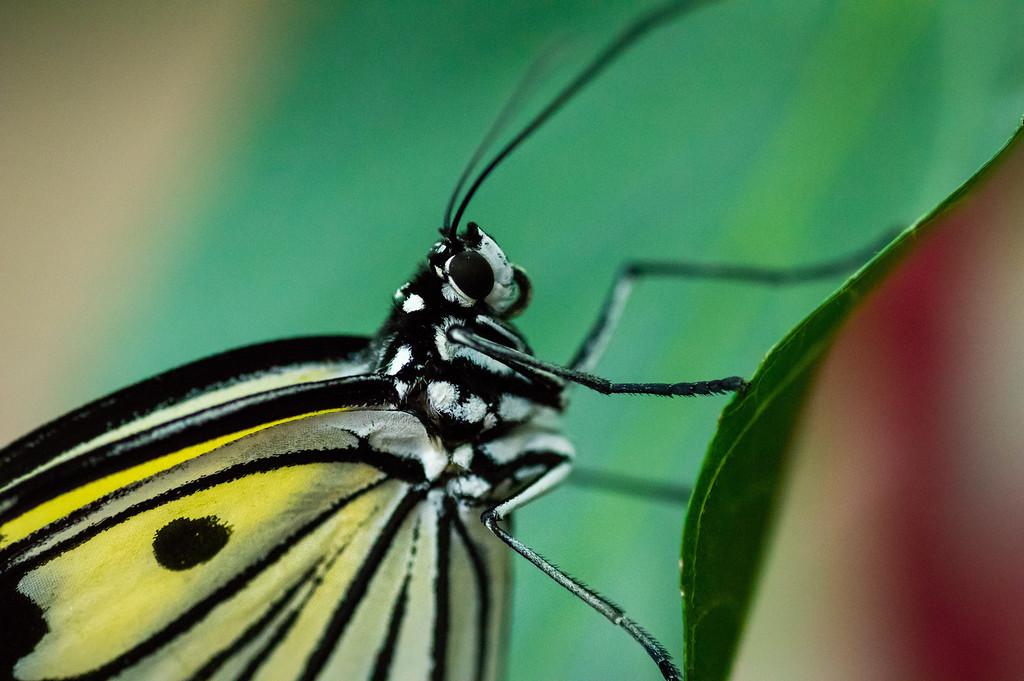 Butterfly113_K33P1218