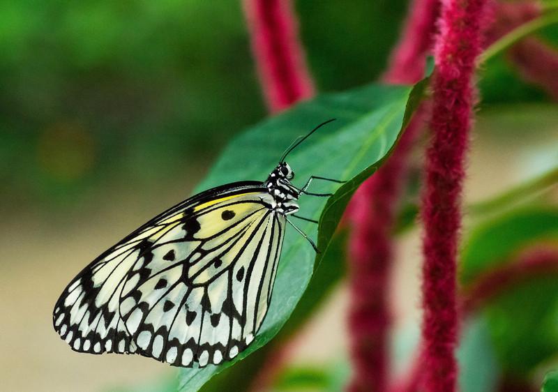 Butterfly112_K33P1209