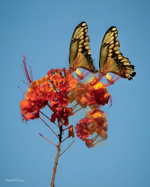 Butterfly Duet