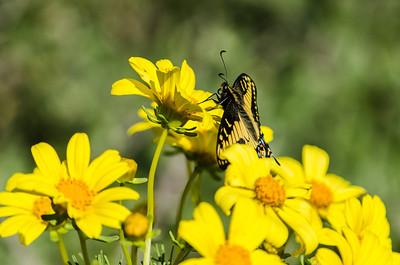 Swallowtail feeding on Giant Coreopsis