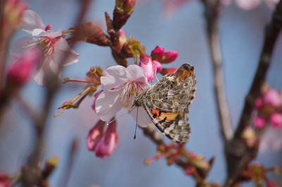 Butterfly feeding on a cherry blossom