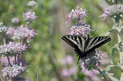 Swallowtail butterfly feeding on a sage bloom