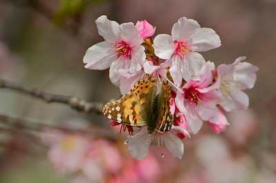 Monarch on cherry blossoms